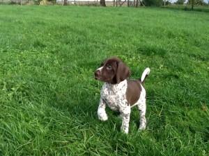 Duitse staande korthaar pups - Du Domaine Chablesse
